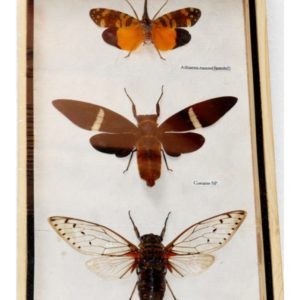 3 REAL CICADA BEETLE INSECT TAXIDERMY COLLECTIBLE IN WOOD BOX