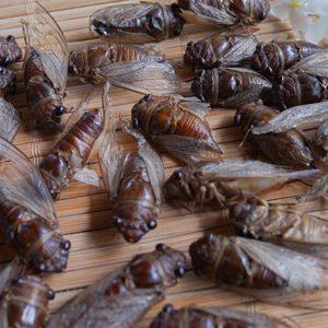 Cicada (Cicadoidea)
