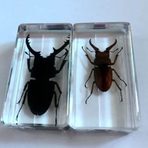 FREE SHIPPING 2 Pcs Collection Stag Beetle Insect Taxidermy Magic Jewelry