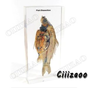 Fish Dissection specimen animal paperweight Taxidermy Collection embedded In Clear Lucite Block Embedding Specimen
