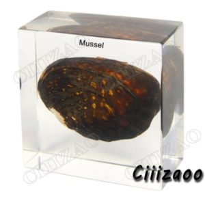 Freshwater Mussel specimen paperweight Taxidermy Collection embedded In Clear Lucite Block Embedding Specimen