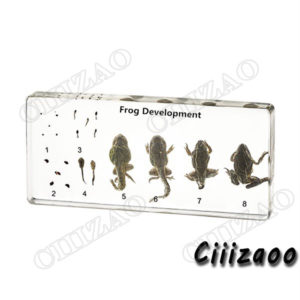 Frog Development specimen paperweight Taxidermy Collection embedded In Clear Lucite Block Embedding Specimen