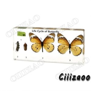 Life Cycle of Butterfly (Danaus chrysippus) paperweight Taxidermy Collection embedded In Clear Lucite Block Embedding Specimen