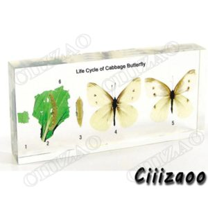 Life Cycle of Cabbage Butterfly specimen paperweight Taxidermy Collection embedded In Clear Lucite Block Embedding Specimen
