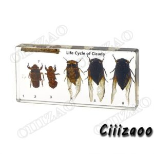 Life Cycle of Cicada specimen paperweight Taxidermy Collection embedded In Clear Lucite Block Embedding Specimen