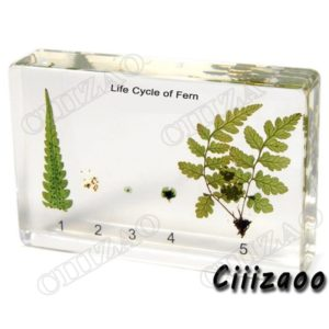Life Cycle of Fern Specimen paperweight Taxidermy Collection embedded In Clear Lucite Block Embedding Specimen