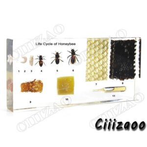 Life Cycle of Honeybee specimen paperweight Taxidermy Collection embedded In Clear Lucite Block Embedding Specimen