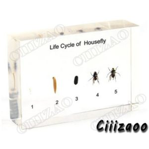 Life Cycle of Housefly specimen paperweight Taxidermy Collection embedded In Clear Lucite Block Embedding Specimen