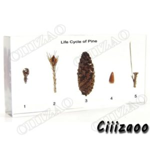 Life Cycle of Pine Specimen paperweight Taxidermy Collection embedded In Clear Lucite Block Embedding Specimen