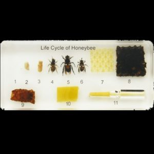 Life Cycle of a Honey Bee