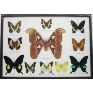 REAL 11 BEAUTIFUL BUTTERFLIES MOTH COLLECTION TAXIDERMY IN FRAME