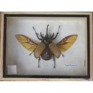REAL 5 HORNED GRACILICORNIS BEETLE INSECT TAXIDERMY IN BOX