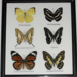 REAL 6 BUTTERFLY TAXIDERMY COLLECTION IN FRAME