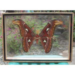 REAL ATTACUS ATLAS MOTHS(M) BUTTERFLY TAXIDERMY DOUBLE GLASS IN FRAME
