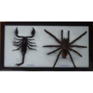 REAL BEAUTIFUL SCORPION SPIDER IN FRAME