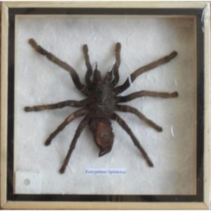REAL EURYPEIMA SPINICRUS SPIDER TAXIDERMY IN WOOD BOX