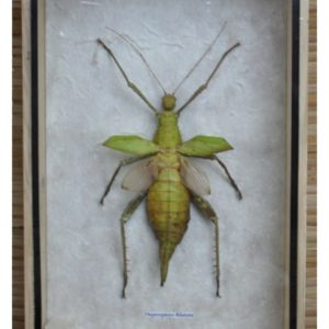 REAL INSECT HETEROPTEYX BILATATA TAXIDERMY COLLECTION IN WOOD BOX