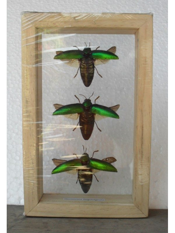 REAL INSECT JEWEL BEETLE STERNOCERA AEGUISIGNATA TAXIDERMY DOUBLE GLASS IN FRAME