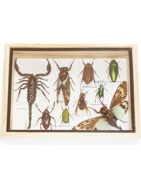 REAL MIXED BEETLE SCORPION CICADA INSECT BOXED FRAMED TAXIDERMY DISPLAY WOOD BOX FOR COLLECTIBLES
