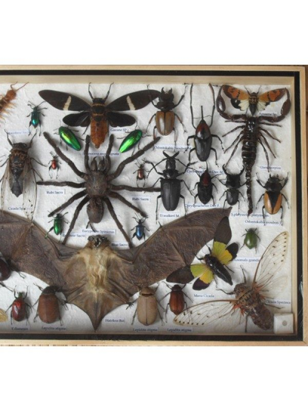 REAL MULTIPLE INSECTS BEETLES BAT SCORPION SPIDER CENTIPEDE COLLECTION IN WOODEN BOX BIG SIZE