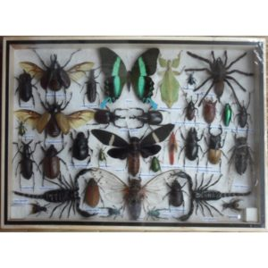 REAL MULTIPLE INSECTS BEETLES BUTTERFLIES SCORPION SPIDER COLLECTION IN WOODEN BOX BIG SIZE