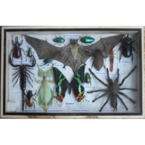 REAL MULTIPLE INSECTS BEETLES SPIDER LEAF INSECT BAT BUTTERFLY COLLECTION IN WOODEN BOX