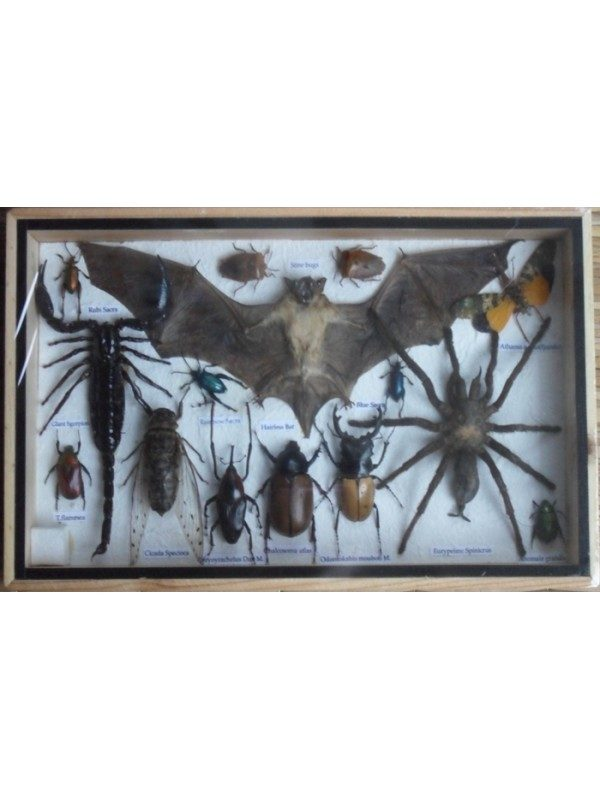 REAL MULTIPLE INSECTS BEETLES SPIDER SCORPION BAT COLLECTION IN WOODEN BOX