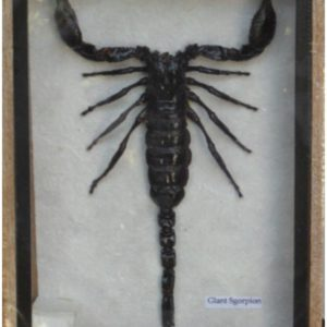 REAL SCORPION TAXIDERMY IN WOOD BOX