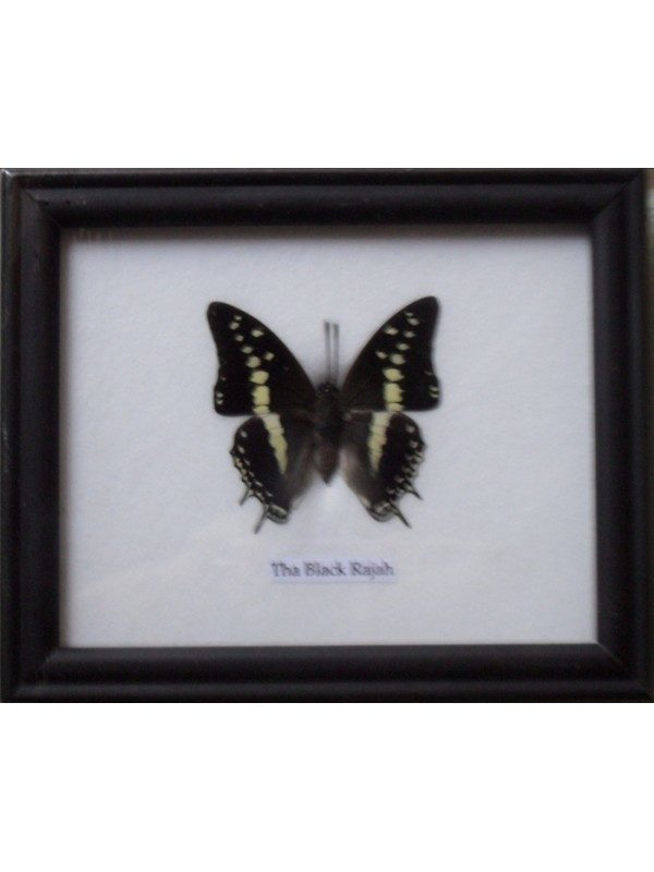 REAL SINGLE BLACK RAJAH BUTTERFLY BUTTERFLY TAXIDERMY IN FRAME