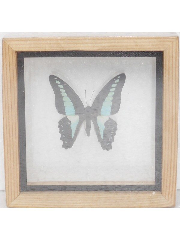 REAL SINGLE BUTTERFLY THE COMMON BLUEBOTTLE TAXIDERMY DOUBLE GLASS IN FRAMED HOMEBUTTERFLY DOUBLE GLASSREAL SINGLE BUTTERFLY THE COMMON BLUEBOTTLE TAXIDERMY DOUBLE GLASS IN FRAMED Product Code: BTD01AAAvailability: 2 REAL SINGLE BUTTERFLY THE GREAT ORANGE TIP TAXIDERMY DOUBLE GLASS IN FRAMED