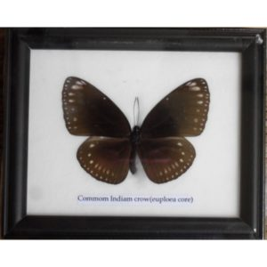 REAL SINGLE COMMON INDIAN CROW BUTTERFLY TAXIDERMY IN FRAME