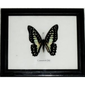 REAL SINGLE COMMON JAY BUTTERFLY TAXIDERMY IN FRAME
