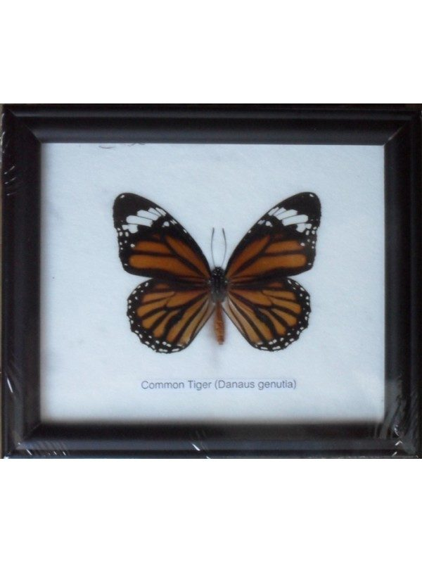 REAL SINGLE COMMON TIGER BUTTERFLIES TAXIDERMY IN FRAME