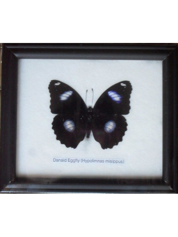 REAL SINGLE DANAID EGGFLY BUTTERFLY TAXIDERMY IN FRAME