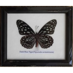 REAL SINGLE DARK BLUE TIGER BUTTERFLIES TAXIDERMY IN FRAME