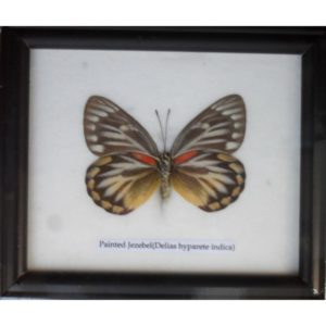 REAL SINGLE PAINTED JEZEBEL BUTTERFLIES TAXIDERMY IN FRAME