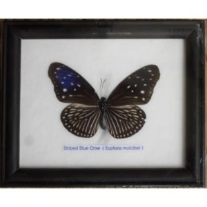 REAL SINGLE STRIPED BLUE CROW BUTTERFLIES TAXIDERMY IN FRAME