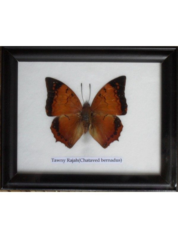 REAL SINGLE TAWNY RAJAH BUTTERFLY TAXIDERMY IN FRAME