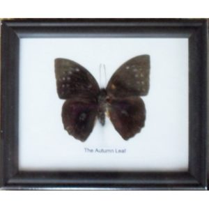 REAL SINGLE THE AUTUMN LEAF BUTTERFLIES TAXIDERMY IN FRAME