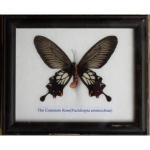 REAL SINGLE THE COMMON ROSE BUTTERFLY TAXIDERMY IN FRAME