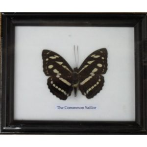 REAL SINGLE THE COMMON SAILOR BUTTERFLY TAXIDERMY IN FRAME