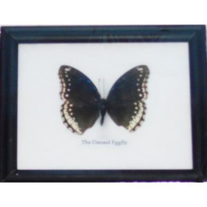 REAL SINGLE THE DANAID EGGFLY BUTTERFLY TAXIDERMY IN FRAME