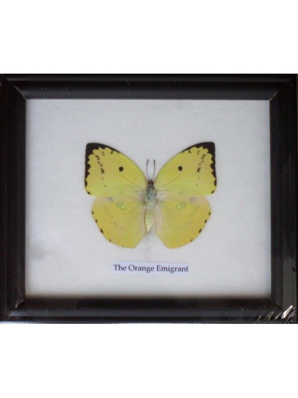 REAL SINGLE THE ORANGE EMIGRANT BUTTERFLIES TAXIDERMY IN FRAME