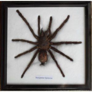 REAL SPIDER TARANTULA TAXIDERMY FRAMED