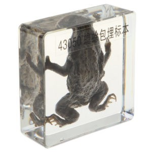 Real Todd Animal Specimen Animal Paperweight Taxidermy, Kids Science Nature Educational Toy Gift Ornament