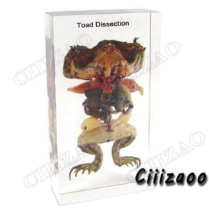 Toad Dissection specimen animal paperweight Taxidermy Collection embedded In Clear Lucite Block Embedding Specimen