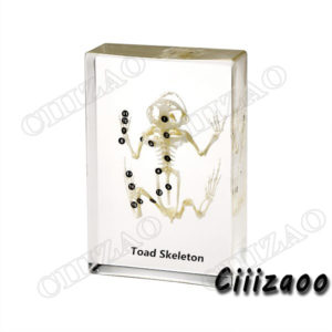 Toad Skeleton Specimen Taxidermy paperweight Collection embedded In Clear Lucite Block Embedding Specimen